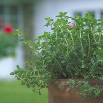 Ce plante aromatice sa cultivi acasa