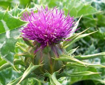 O planta cu efect de sunscreen: intinereste, protejeaza de cancer si detoxifiaza